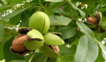 Польза грецких орехов для организма рецепты