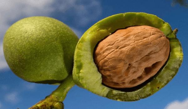 Применение грецкого ореха